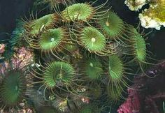 Green Button Polyp Zoas Soft Coral Marine Frag at Aquarist Classifieds Saltwater Tank, Saltwater Aquarium, Coral Pictures, Marine Fish, Soft Corals, Cichlids, Red Sea, Green Button, Salt And Water