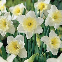 Narcissus x incomparabilis   Tähtinarsissi, 'Ice Follies'