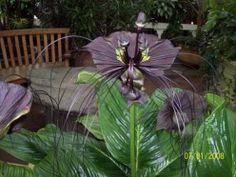 Tacca Chantrieri, Bat Flower: Strange Exotic Plants and Flowers