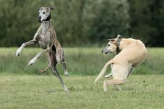 Its a greyhound thin