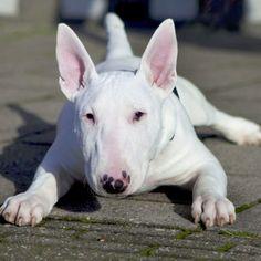 Does the Bull Terrier make a good pet? #bullterrier