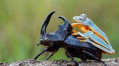 Žaba si zobrala taxik