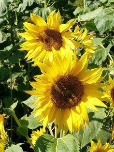 Sunflowers are wonderful.