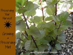 Preserving Your Harvest: Growing and Preserving Versatile Mint
