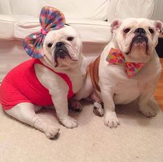 Beau and Bonnie Posted from Bulldog Friendzy