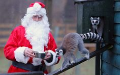 Christmas morning - feeding the Ring Tailed Lemurs at Blair Drummond Safari Park England