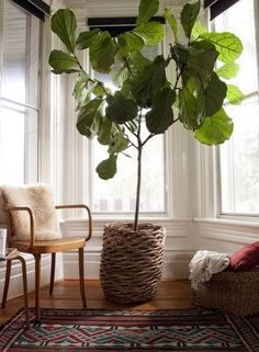 fiddle-leaf fig tree. i have one of these as a low-maintenance roommate.