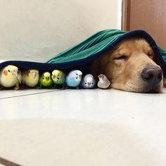 Un golden retriever, ocho pájaros y un hámster: la siesta con amigos es más divertida