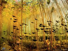 Tadpoles swimming through forest of water lilies. Photo by Eiko Jones, published by National Geographic.
