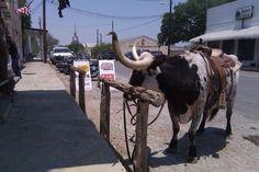 Saddled Bull, Bandera, Texas