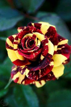 Magnifique rose rouge et jaune éclatant panaché
