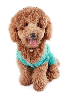 toy #Poodle dog