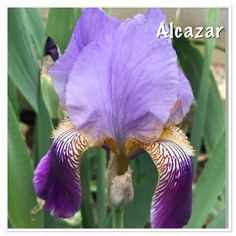 Old iris