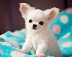 Chihuahua puppy.  <3                                                                                                                                                                                 More