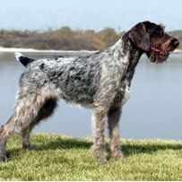Korthals griffon ..also called Wirehaired Pointing Griffon ...