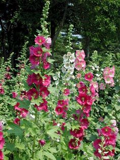 Creative Country Mom's Garden: Favorite Flowers....Hollyhocks