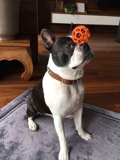 "<a class=""pintag searchlink"" data-query=""%23bostonterrier"" data-type=""hashtag"" href=""/search/?q=%23bostonterrier&rs=hashtag"" rel=""nofollow"" title=""#bostonterrier search Pinterest"">#bostonterrier</a>#dog"