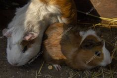 Guinea pigs run in an open-air cage in the fresh air - Stock Photo , Guinea Pig Run, The Fresh, Birds In Flight, Stock Photos, Running, Pets, Animals, Animales, Flying Birds