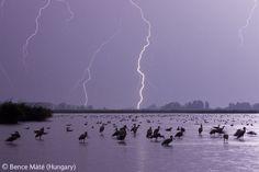 Lightning birds - Bence Máté - Wildlife Photographer of the Year 2007: Eric Hosking Portfolio Award - Winner