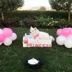 Birthday Dog Japanese Spitz Dog Japanese Spitz Dog, Spitz Dogs, Birthday, Cute, Birthdays, Kawaii, Dirt Bike Birthday, Birth Day