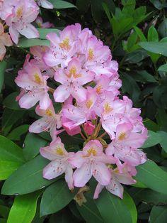 Rhododendron by Behnke Nurseries, Inc, via Flickr