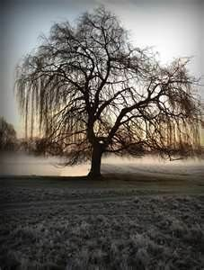 Image detail for -Weeping willow tree