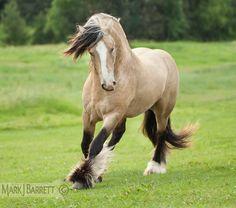 Gold buckskin Gypsy Vanner Horse stallion