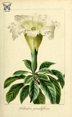 Silver cup. Solandra grandiflora. Herbier général de l'a…   Flickr