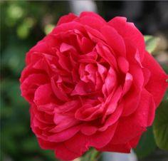 'Benjamin Britten' * - Austin (2001). Rozetvormige, fruitig geurende, oranjerode tot baksteenrode bloemen (6-7cm). Tamelijk ziekteresistent. 120cm x 90cm.