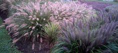 Ornamental grasses - fescue, feather and fountain
