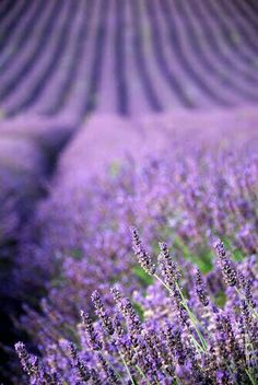 Purple flowers are a great way to add interest to your yard or landscape. Here are Different Types of Purple Flowers for Your Garden and Purple Flowers Meaning. Lavender Cottage, Lavender Garden, Lavender Blue, Lavender Fields, Lavender Flowers, Purple Flowers, Lavander, Purple Garden, French Lavender