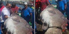 JORNAL O RESUMO - NÃO É HISTORIA DE PESCADOR!! - JORNAL O RESUMO: Peixe raro de 150 Kg é fisgado em Arraial do Cabo