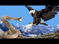 Eagle vs Snake Real Fight | Eagle Attack Snakes ☆ Amazing Animal - AHBABO