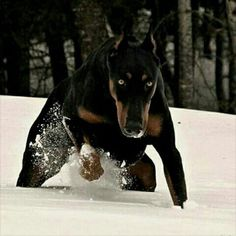 The Doberman Pinscher is among the most popular breed of dogs in the world. Known for its intelligence and loyalty, the Pinscher is both a police- favorite bree Big Dogs, Cute Dogs, Dogs And Puppies, Canis Lupus, Scary Dogs, Doberman Pinscher Dog, Doberman Love, Cool Dog Houses, Mundo Animal