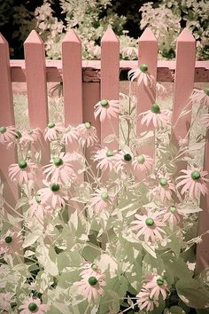 Pink Fence; White Flowers