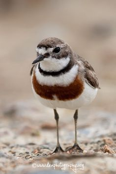 Banded Dotterel or Double-banded plover (Charadrius bicinctus) Stewart Island, New Zealand Animals Of The World, Animals And Pets, Cute Animals, Sea Birds, Wild Birds, List Of Birds, Shorebirds, Bird Pictures, Colorful Birds