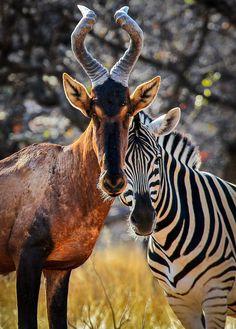 The Kudu and Zebra in Etosha, Nambia.      Photo by P. Warner -- National Geographic Your Shot