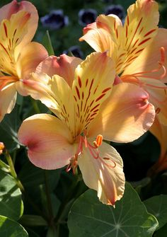 Alstroemeria aurantiaca - by anniesannuals, via Flickr