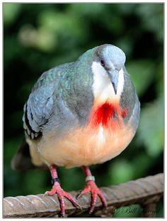 Luzon Bleeding-Heart Pigeon, via Flickr.