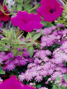 Make a Purple Color Combo - Top Annual Plant Pairings from bhg: bold purple wave petunias & ageratum; can take hot conditions Blue And Purple Flowers, Love Flowers, Colorful Flowers, Beautiful Flowers, Flower Colors, Summer Flowers, Best Plants For Shade, Leaf Texture, Annual Flowers