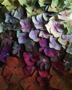 Shades of hydrangea in the garden