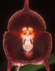 Orchid-Mimicry: Flower-detail of Dracula pholeodytes - Found in Boyaca Colombia in cloud forsts at elevations around 2500 meters as a small-sized, cold-growing epiphyte