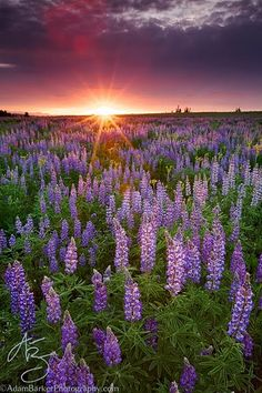 Lupine and sunstar on Duchesne Ridge by Adam Barker on Beautiful Islands, Beautiful Sunset, Beautiful World, Beautiful Flowers, Beautiful Places, Beautiful Pictures, Landscape Photography, Nature Photography, Wedding Photography