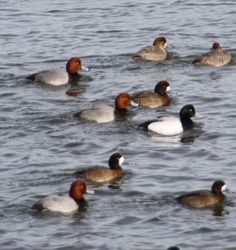 More redheads and scaups
