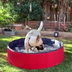 🔥🔥Fun and Cool for both toddlers / little kids and dogs pets. This foldable pool, no hassle of inflation, can be used to bath, swim or dabble. Pet Dogs, Dogs And Puppies, Doggies, Animals And Pets, Cute Animals, Parcs, Backyard Landscaping, Dog Backyard, Backyard Plants