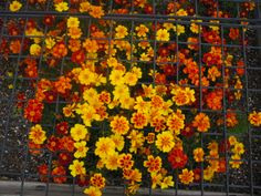 """Nature's own pest control.  Marigolds repel insects. French marigolds repel whiteflies and kill bad nematodes. Mexican marigolds are said to offend a host of destructive insects and wild rabbits as well. The scent is what works as a repellant. I've never made them into """"tea"""" but I hear that works as a spray. They also repel snakes!"""