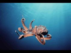 What's Your Animal Personality Type? The Myers-Briggs Type Indicator INTJ: Octopus INTJs are independent types, wildly intelligent and creative — but rather un-interested in what anyone else is doing. Animal Cruelty Laws, Image Nature, Ocean Creatures, Intj, Ocean Life, Personality Types, Marine Life, Under The Sea, Octopuses