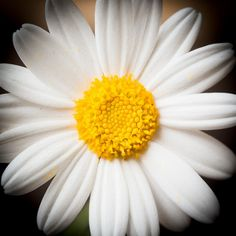 Daisy - by Chris Smith My favorite of all time! Little Flowers, Love Flowers, My Flower, White Flowers, Flower Power, Beautiful Flowers, Sunflowers And Daisies, Daisy Flowers, Wildflowers