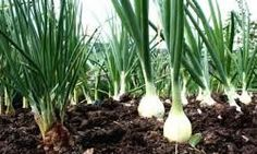 Growing onions is easier than you might think. They're the perfect crop to tuck in between other plants or in corners of garden beds. Organic Gardening, Horticulture, Herbs, Plants, Garden, Herb Garden, Growing Vegetables, Growing Onions, Gardening Tips