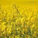 Rapeseed output in the European Union, the world's largest producer of the oilseed used in cooking and biofuels, may increase to a four-year high after German farmers planted more crops, reported Bloomberg.